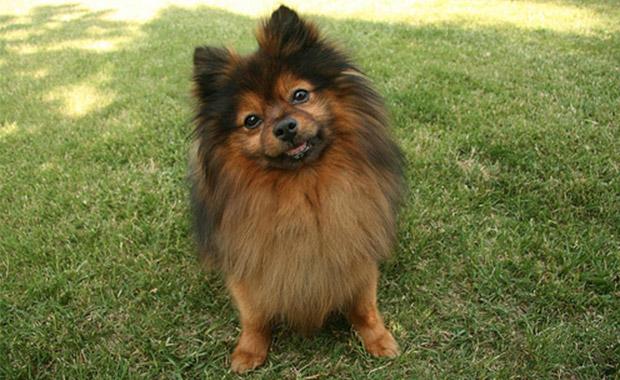 타이타닉에서 살아남은 포메라니안(Pomeranian)