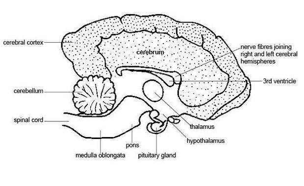 일반적으로 개는 유아와 같은 뇌 적성 수준을 가지고 있습니다. 개는 약 250 단어를 이해하고 5까지 셀 수 있습니다.
